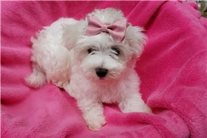 Lady Bunny - Maltese for sale