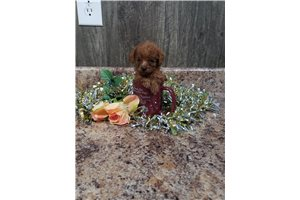Munchkin - Poodle, Toy for sale