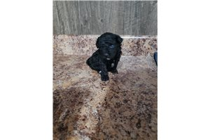 Ace - Poodle, Toy for sale