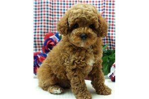 William - Poodle, Miniature for sale