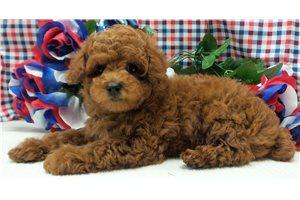 Robert - Poodle, Miniature for sale