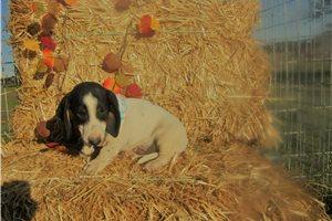Snoopy - Dachshund, Mini for sale
