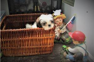 Bouncy - Shih Tzu for sale