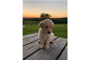 Fred - Golden Retriever for sale