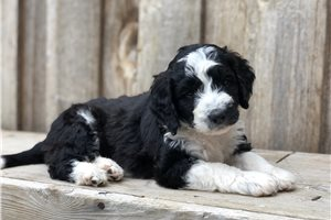 Lottie - Bernedoodle, Mini for sale