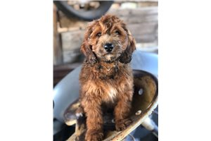 Yeah Yeah - Bernedoodle, Mini for sale
