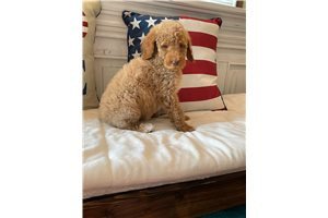 Dolly - Poodle, Standard for sale
