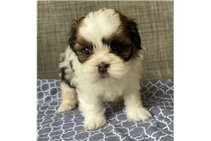 Willow - Shih Tzu for sale