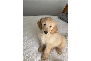 Daisy - Goldendoodle for sale