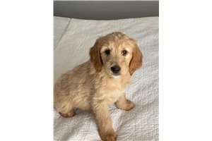 Waterfall - Goldendoodle for sale