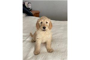 Little Grassy - Goldendoodle for sale