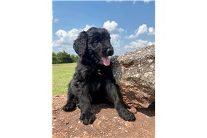 Chuckie - Bernedoodle for sale