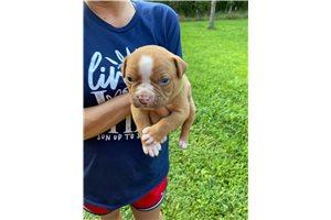 Tucker - American Bulldog for sale