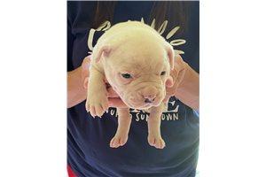 Spot - American Bulldog for sale
