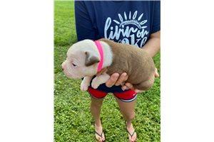 Honey - American Bulldog for sale