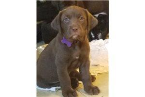 Nellie - Labrador Retriever for sale