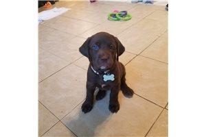 Nutmeg - Labrador Retriever for sale