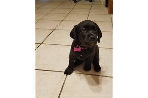Piper - Labrador Retriever for sale