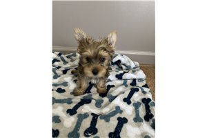 Snickers - Yorkshire Terrier - Yorkie for sale