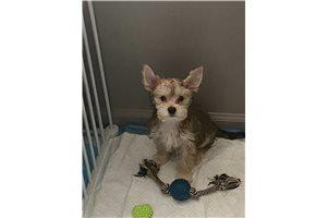 Kit Kat - Yorkshire Terrier - Yorkie for sale