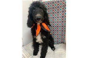 Ollie - Poodle, Standard for sale