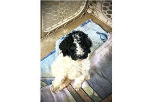 Ivy - Poodle, Standard for sale