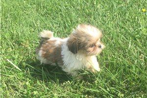 Chloe - Shih Tzu for sale