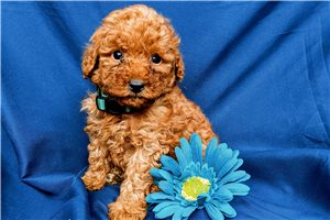 Angelica - Poodle, Miniature for sale