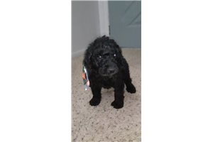 Axel - Poodle, Standard for sale