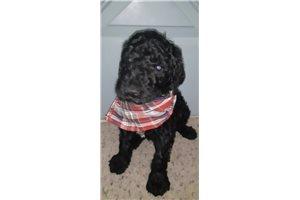 Baxter - Poodle, Standard for sale