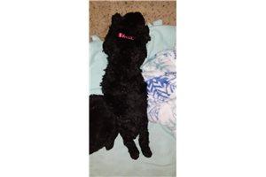 Pinkie - Poodle, Standard for sale