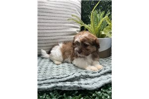 Luci - Havanese for sale