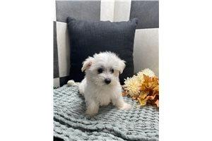 Tommy - Maltese for sale