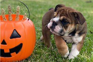 Clair - English Bulldog for sale