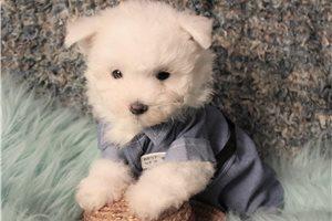 Buddy Boy - Maltese for sale