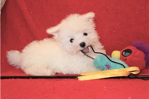 Mikey - Maltese for sale