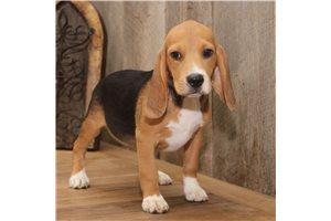 Dillon - Beagle for sale