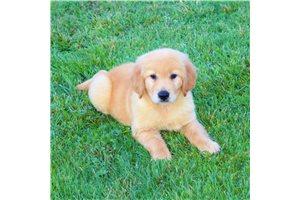 Trevor - Golden Retriever for sale