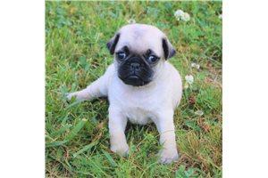 Kody - Pug for sale