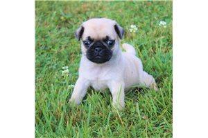 Oscar - Pug for sale