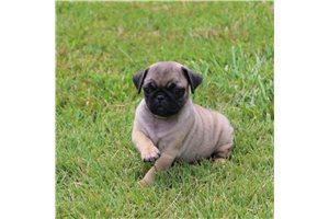 Blossom - Pug for sale
