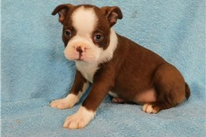 Perry - Boston Terrier for sale
