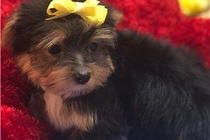 Alvin - Yorkshire Terrier - Yorkie for sale