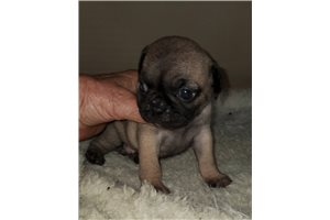 Penny - Pug for sale