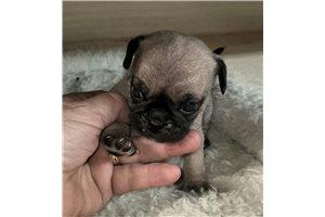 Petey - Pug for sale