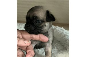 Perry - Pug for sale