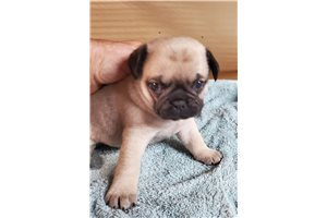 Nellie - Pug for sale