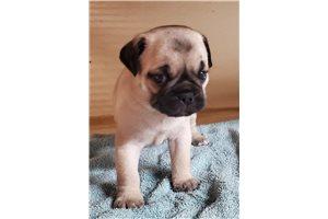 Tyson - Pug for sale