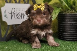 North - Havanese for sale