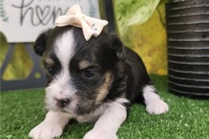 Baby - Havanese for sale